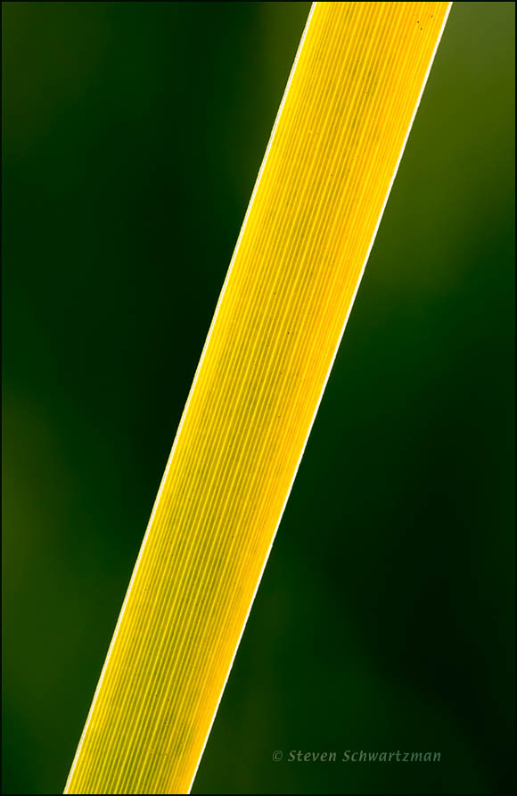 Cattail Leaf Section Turning Yellow 3906
