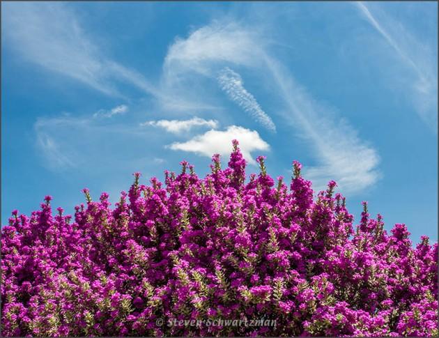 Cenizo Flowering with Wispy Clouds 3620