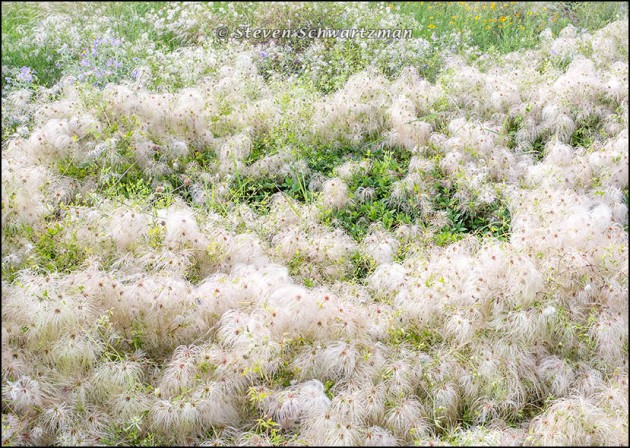 Clematis drummondii Mound of Fluff 3626
