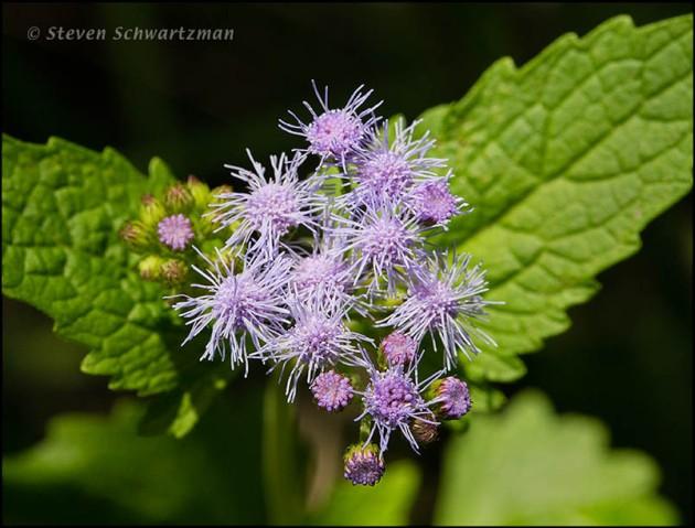 Conoclinium coelestinum Flowers 4391