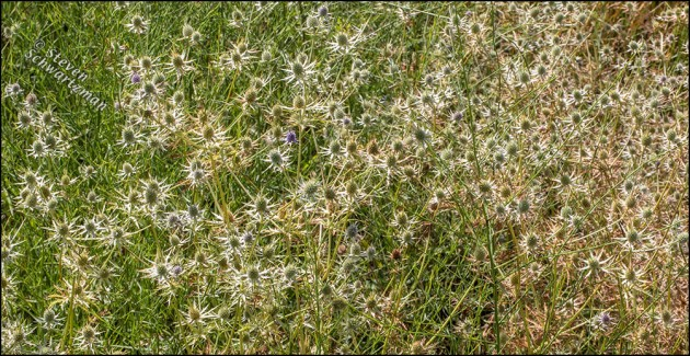 Eryngo Colony Pale by Hierba del Marrano and Drying Plants 4179A