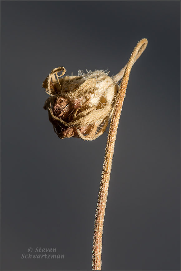 Firewheel Seed Head Dried Out on Looping Stalk 0574