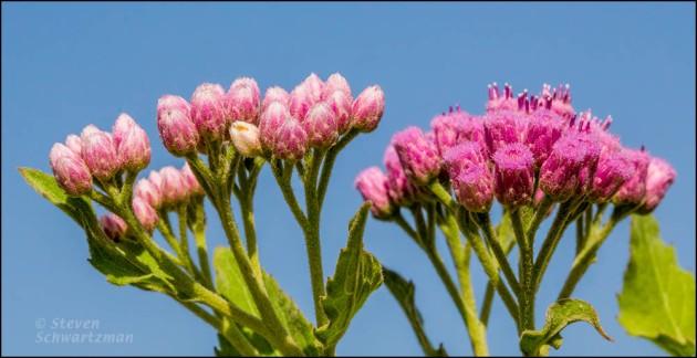 Marsh Fleabane Flowers and Buds4038