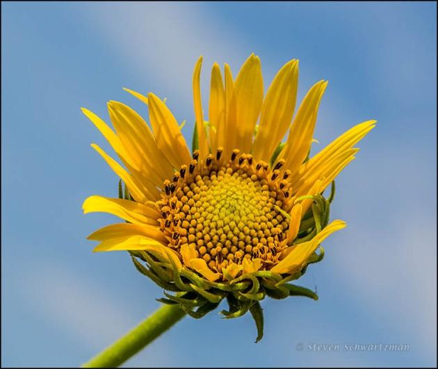 Maximilian Sunflower Opening 3848