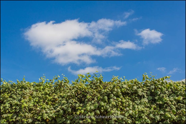 Mustang Grape Vine and Cumulus Clouds 2408