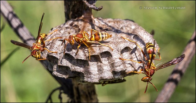 Paper Wasps at Nest on Dry Giant Ragweed 3196A