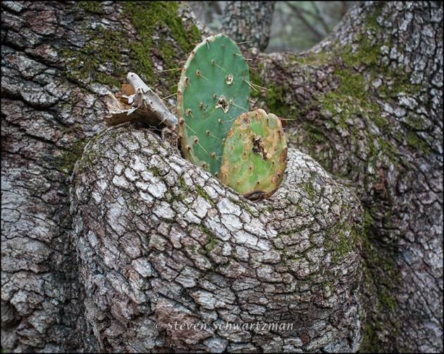 Prickly Pear Growing in Bole of Live Oak 9453