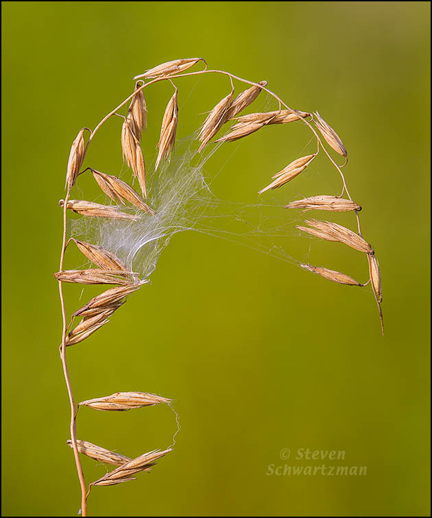 Spiderweb on Sideoats Grama Seed Stalk 0167