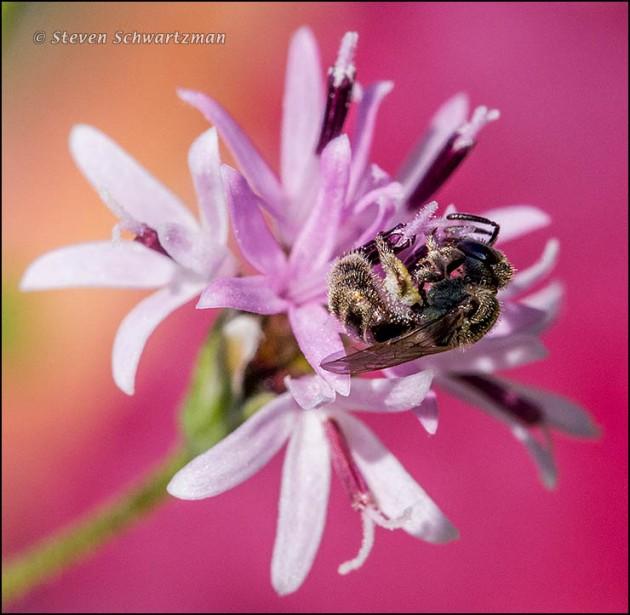 Tiny Dark Bee on Small Palafoxia by Tuna 4878