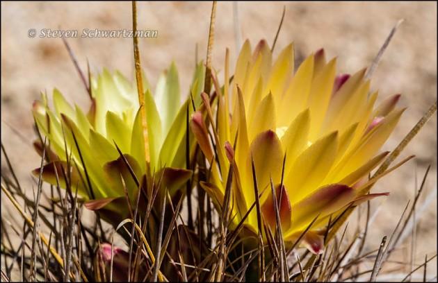 Turk's Head Cactus Flowering 2410