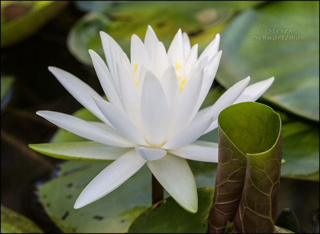 White Water Lily with Scrolled Leaf 2389