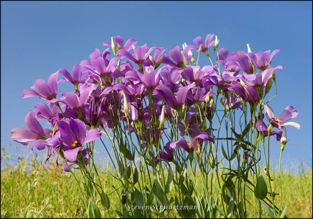 Bluebells Flowering 3939