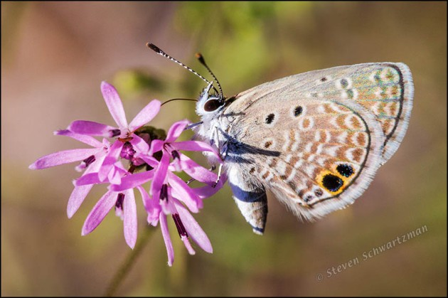 Ceraunus Blue Butterfly on Small Palafoxia 4990
