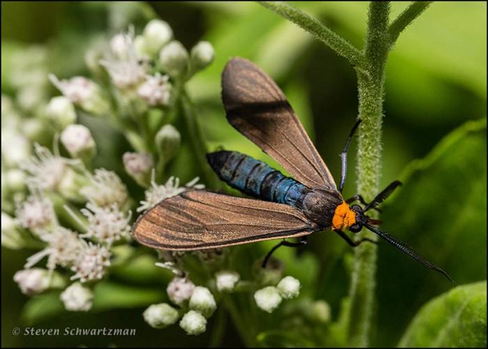 Ctenucha Moth on Eupatorium serotinum Flowers 4340