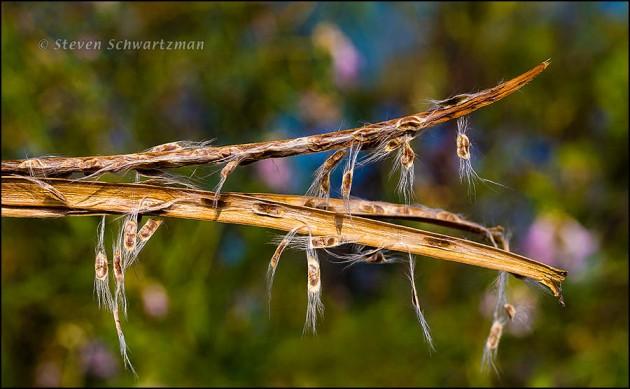 Desert Willow Seeds in Split Pods 5487