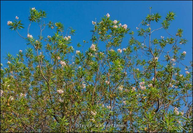 Desert Willow Tree Flowering 5733