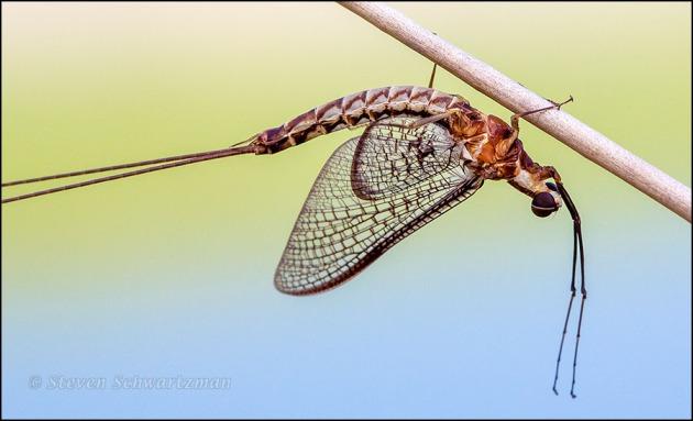 Mayfly on Dry Stalk 5192