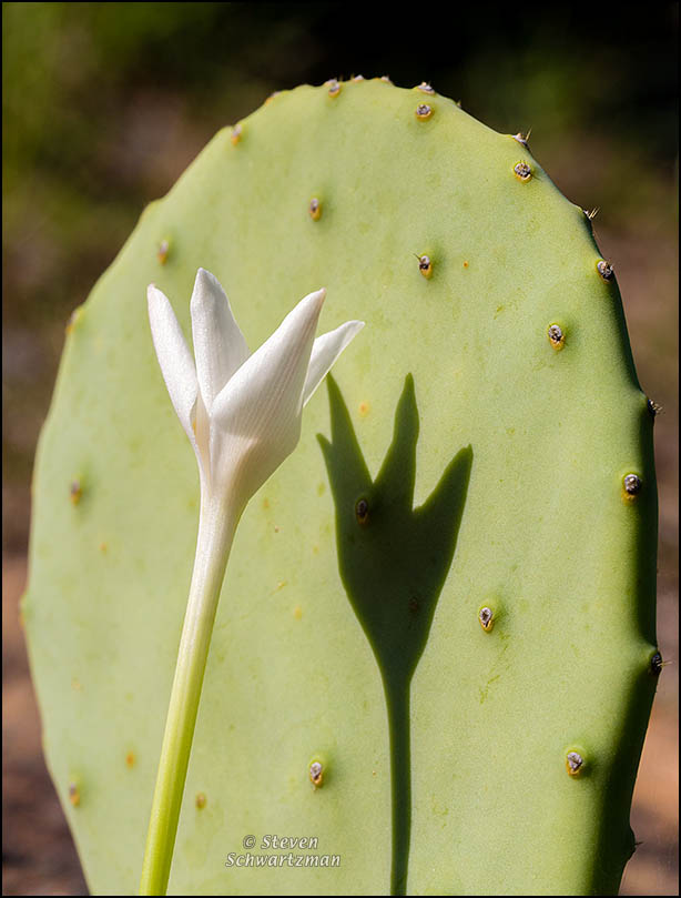Rain-Lily with Shadow on Prickly-Pear Pad 8557