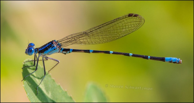 Small Blue Damselfly 5724