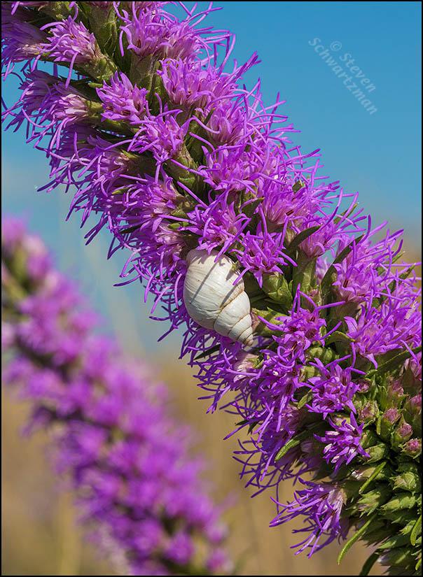Small White Snail on Flowering Liatris 7232