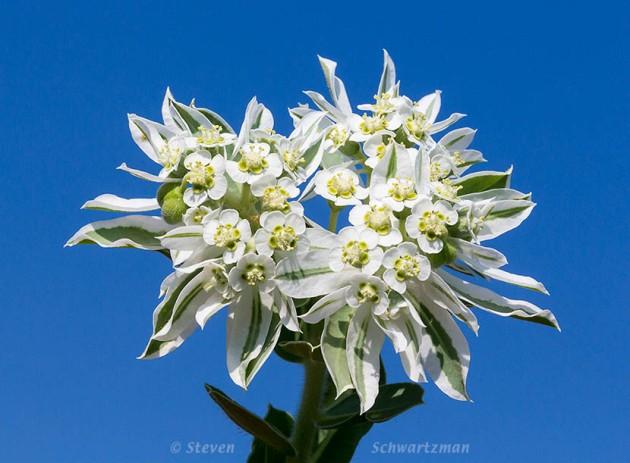 Snow-on-the-Mountain Flowers 6055