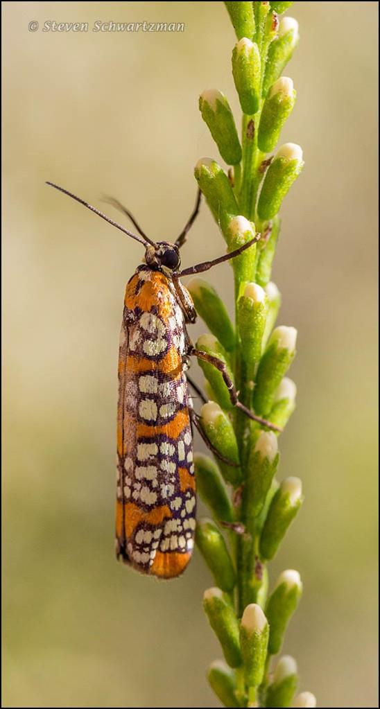 Ailanthus Webworm Moth on Kidneywood Buds 9993