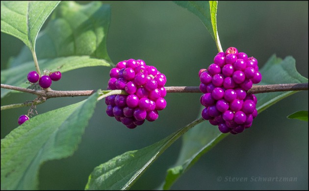 American Beautyberry Fruit 3954