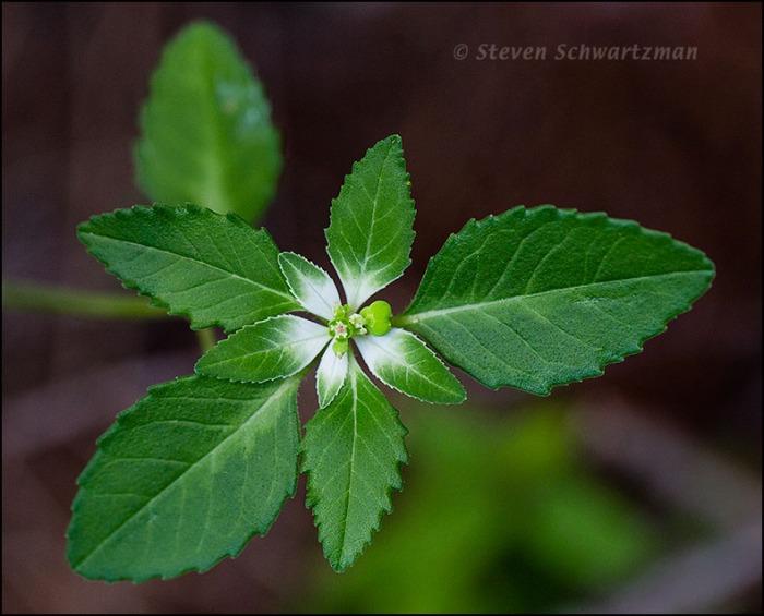 Euphorbia dentata 9577