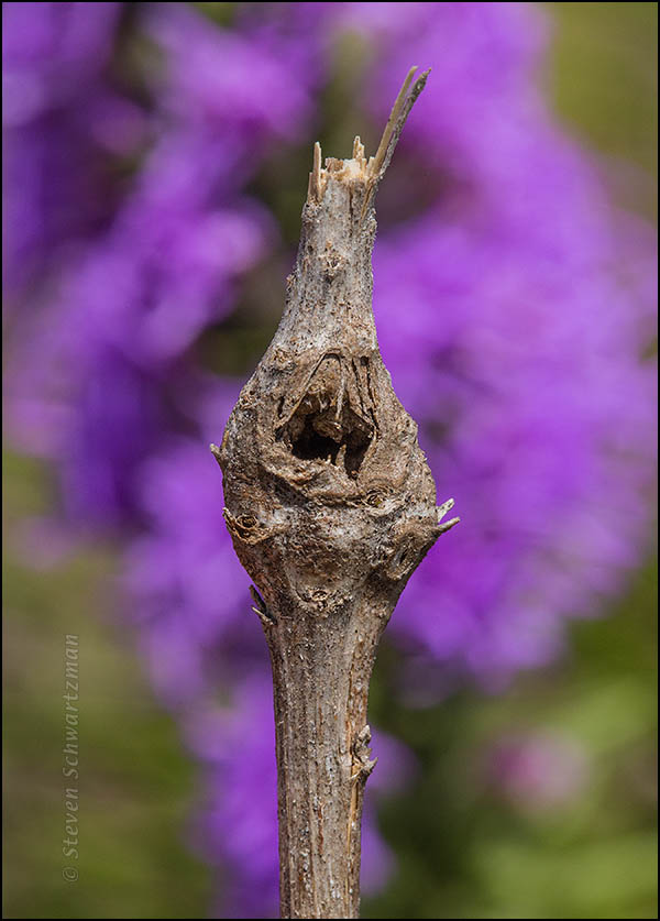 Gall in Dry Liatris Stalk by Flowers 7437