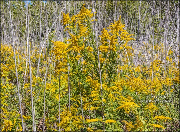 Goldenrod Flowering by Dry Giant Ragweed Stalks 0239A