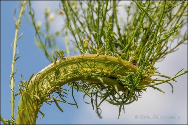 Horseweed Fasciated 6673