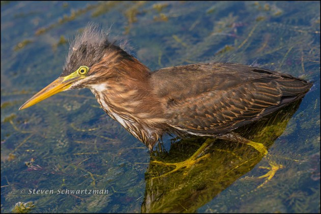 Juvenile Green Heron 6219