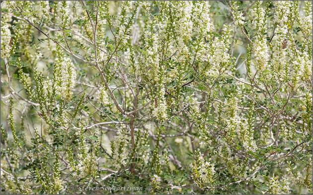 Kidneywood with Dense Flowers 9936