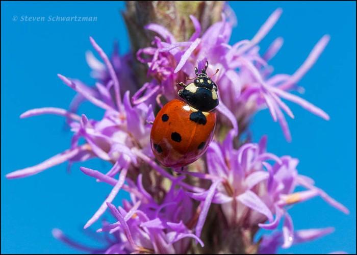 Lady Beetle on Liatris 1320