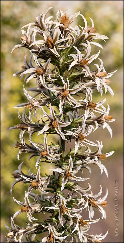 Liatris elegans Flowers 6611