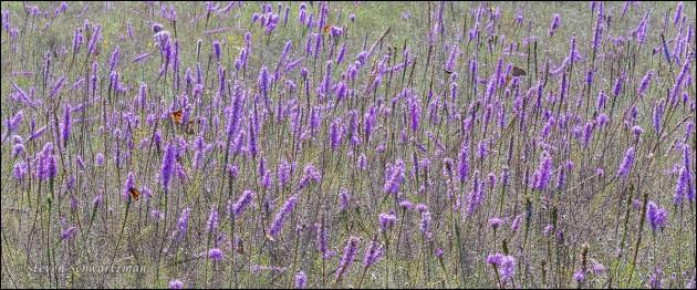 Liatris mucronata Colony Flowering 1951