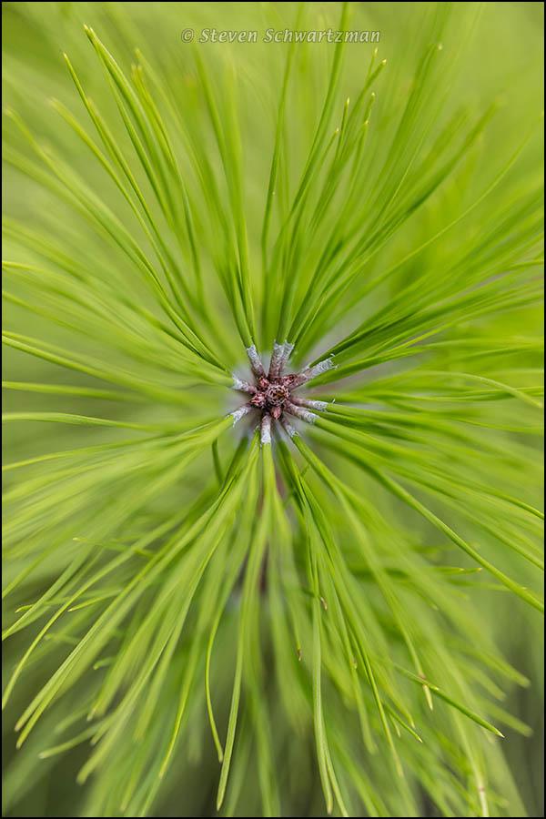 Loblolly Pine Sapling 6677A