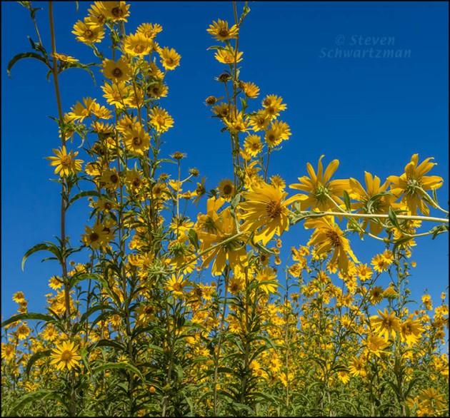 Maximilian Sunflower Colony Flowering 0430B