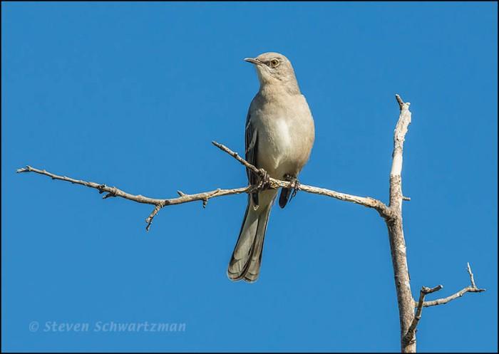 Mockingbird on Dead Branch 1095