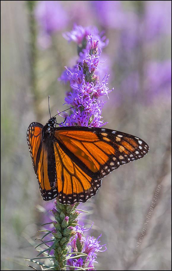 Monarch Butterfly on Liatris 1735