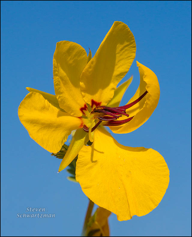 Partridge Pea Flower 7140A