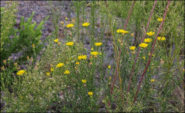 Soft Goldenaster Seed Heads by Horseweed 6444