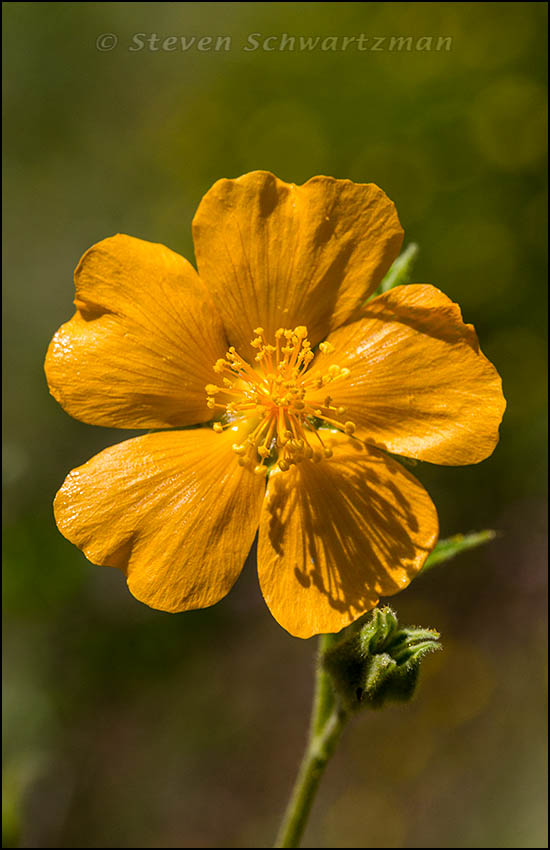 Velvetleaf Mallow Flower 9791