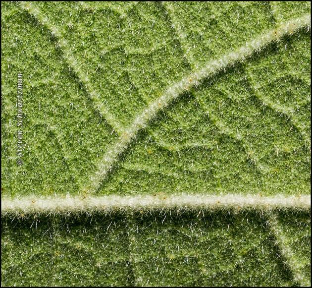 Velvetleaf Mallow Leaf Underside 9814