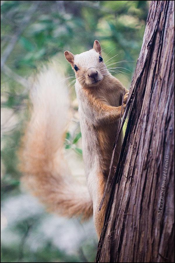 White Squirrel on Ashe Juniper Trunk 0053