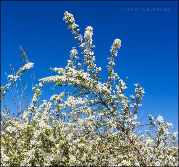 Aster ericoides Flowering 3568