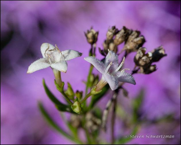 Bluet Flowers by Liatris 1477