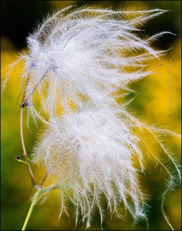 Clematis drummondii Fluff by Viguiera dentata Flowers 7803