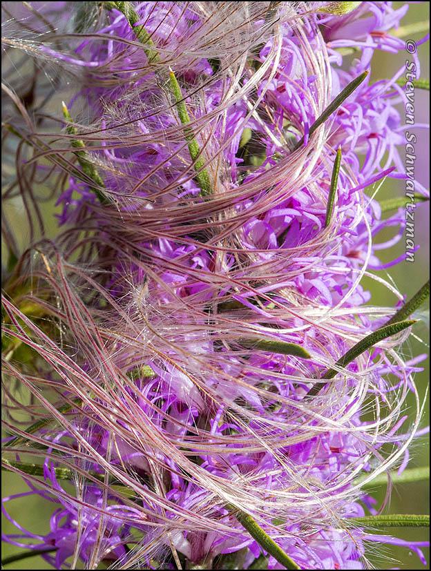 Clematis drummondii Strands on Liatris mucronata Flowers 1455A