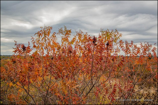 Flameleaf Sumac Turning Red with Undulating Clouds 2104